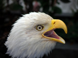 Bald Eagle. Ketchikan Alaska
