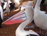 Pelican. Queensland Australia