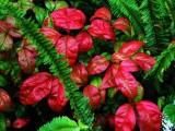 Red Leaf Plant.