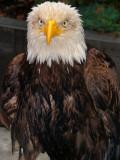Eagle Ketchikan Alaska