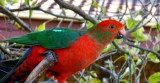 Young Male King Parrot. (Alisterus scapularis)
