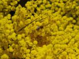 Bee in Wattle.jpg