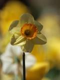 Doffodil