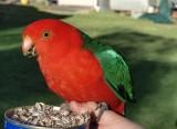 Male King Parrot (Alisterus scapularis)