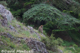 Magot (Macaca sylvanus) (Djebel Babor)_A8T0300.jpg
