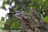 Atlas Flycatcher nesting in a snag_A8T0475.jpg