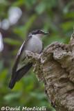 Atlas Flycatcher nesting in a snag_A8T0482.jpg