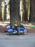 Big Trees on hwy  101 (Richardson Grove)