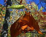 Giant fall leaves