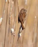 Song Sparrow a.jpg
