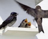 Purple Martins.jpg