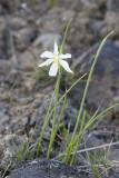 Olsynium (Sisyrhincium) douglasii Douglas' grass-widow (white form)