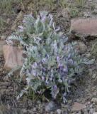 Astragalus purshii Woolly-pod milk-vetch