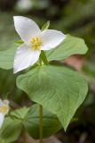 Trillium ovatum  Pacific trillium