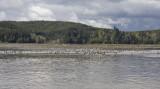 Peregrine Falcon flushing shorebirds