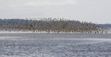 Dunlin, Red Knots and Short-billed Dowitchers