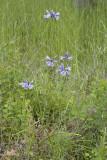 Triteleia grandiflora (Brodiaea howellii) Douglas' brodiaea