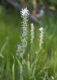 Camassia quamash v. quamash  Common camas, white form