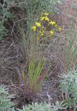 Crepis atribarba  Slender hawksbeard