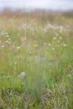 Agropyron caninum  (Elymus trachycaulus subsp. trachycaulus)