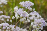 Allium amplectens  Narrow-leaf onion