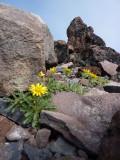Hulsea nana   Dwarf alpinegold