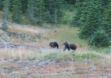 Grizzy bear and cubs, Glacier National Park