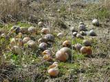Snail Kite food