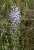 Camassia quamash v. maxima