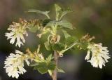 Ribes sanguinium  Red currant (white form)
