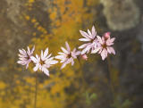 Lithophragma glabra Smooth prairie star