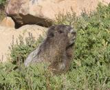 Hoary Marmot (Mt. Rainier)