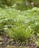 Small flowered woodrush   Luzula parviflora
