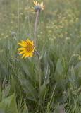 Wyethia angustifolia Narrow leaved mule's ears