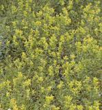 Rhinanthus minor (crista-galli) Yellow rattle