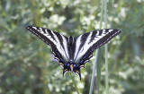 Pale swallowtail nectaring on Dichelostemma (Brodiaea) congestum