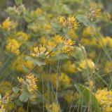 Nevada deervetch  Lotus nevardensis