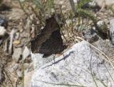 Milbert's tortoiseshell  Nyphallis milberti