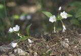 Lanceleaf springbeauty  Claytonia lanceolata