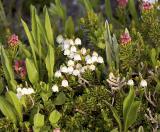 Cassiope mertensiana  Western moss heather