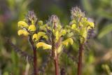 Mt. Rainier lousewort  Pedicularis rainierensis