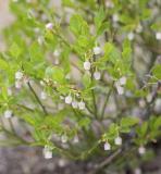 Grouseberry  Vaccinium scoparium