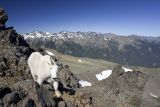 Moutain goat (introduced into the Olympics) on top of Mt. Buckhorn