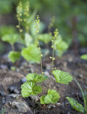Brewer's miterwort  Mitella breweri