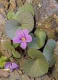 Olympic moutain violet  Viola flettii