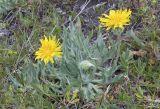 Smooth Mountain Dandelion Nothocalais (Microseris) alpestris