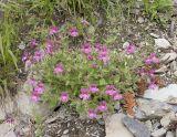 Purple monkey-flower  Mimulus lewisii