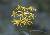 Senecio  triangularis  Arrowleaf ragwort