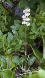 Pyrola minor  Snowline wintergreen