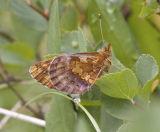 Western Meadow Fritillary  Boloria  epihore